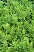 Common mint, spearmint (Mentha officinalis)