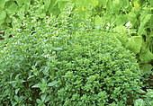 Small-leafed basil 'Fino verde' (Ocimum basilicum) on the left and Basil 'Palla Compatto' (Ocimum basilicum) on the right in summer