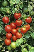 Red cherry tomato (Lycopersicon esculentum), vegetables in summer