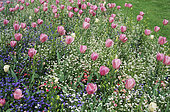 Spring bed with Tulip (Tulipa sp) and Silene (Silene sp) in Spring