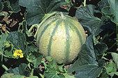 Melon (Cucumis melo), fruit
