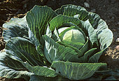 Edible Cabbage F1 (Brassica oleracea) 'Tête de Pierre'. Vegetable