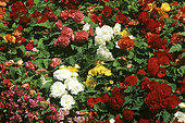 Begonia massif (Begonia x tuberhybrida) mixed in summer