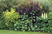 Scene of shrubs with Berberis (Berberis sp), Lupine (Lupinus sp), Hollyhock (Alcea rosea) and Golden ninebark (Physocarpus lutens)