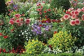 Flower bed with Dahlia (Dahlia sp) 'Pianella', Ornamental tobacco (Nicotiana tabacum), Melampodium (Melampodium paludosum), Agerate (Ageratum sp), Annual Begoinia (Begonia semperflorens) in summer