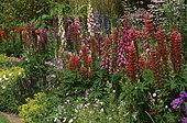 Spring bed with Lupine (Lupinus sp), Digitale (Digitalis sp), Perennial Geranium (Geranium sp) and Alpine lady's mantle (Alchemilla mollis), Private garden in summer, Belgium