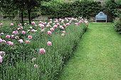Lawn, Bench, Peony Bush (Paeonia sp) and Lavender (Lavandula), Penshurst Place, England
