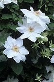Clematis (Clematis sp) 'Mrs George Jackman Light' flowers in summer