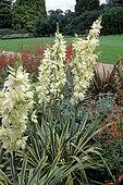 Adam's Needle (Yucca filamentosa) 'Bright Edge'