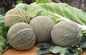 Melon 'Galia F1' (Cucumis melo), Fruits