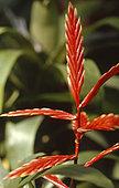 Flaming Sword (Vriesea splendens)