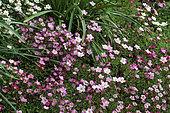 Mousse Rose, Rock Cress (Saxifraga x arendsii) in bloom