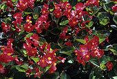 Begonia (Begonia semperflorens) 'Inferno', flowers