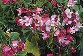 Begonia (Begonia semperflorens) 'All Round', flowers