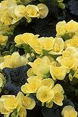 Hiemalis begonia (Begonia x hiemalis) in bloom