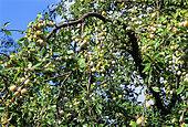 Plum 'Mirabelle de Nancy' (Prunus domestica) fruits on the tree