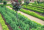 French kitchen garden, Peas in bloom (Pisum sativum), Priory of Saint Cosme, Indre-Et-Loire, France.