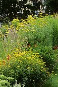 Sunwheel (Buphthalmum salicifolium) and Achillea (Achillea sp) in summer