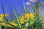 Ficaire, Fausse renoncule (Ranunculus ficaria) fleurs