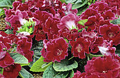 Sinningia 'Avanti Scarlet' (Gloxinia sp) in bloom