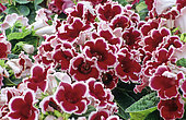 Sinningia ultra red with white edge (Gloxinia sp) in bloom