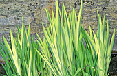Iris des marais, Iris d'eau, Iris faux acore (Iris pseudacorus) 'Variegata', Vivace rustique, Rhizomateuse, Aquatique, Plante paludéenne, Feuillage persistant, Feuille engainante, Panachée, Origine horticole