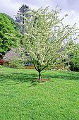 Ornamental apple tree (Malus brevipes), Batsford arboretum, Gloucestershire, England