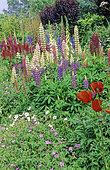 Flowering Perennial Spring bed with Lupine (Lupinus sp), Perennial Geranium (Geranium sp), Poppy (Eastern Papaver)