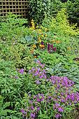 Flowering Perennial Spring Massif with Phlox (Phlox sp), Columbine (Aquilegia sp), Lungwort (Pulmonaria sp)