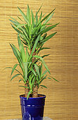 Giant Yucca (Yucca elephantipes syn. Yucca guatemalensis)