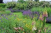 Perennial Flowerbed with Purple Foxglove (Digitalis purpurea), Cornflower (Centaurea cyanus), Chrysanthemum (Chrysanthemum sp), Rose (Rosa sp), Catnip, (Nepeta sp), Hall Farm, England, Spring-Summer