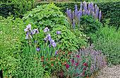 Perennial Flowerbed with Iris (Iris sp), Lupine (Lupinus sp), Carnation (Dianthus sp.), Walnut Tree Garden, Kent, England, Spring-Summer