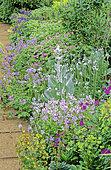 Perennial Flowerbed with Perennial Geranium (Geranium sp), Spurge (Euphorbia sp), Mullein (Verbascum sp), Spring-Summer