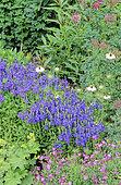 Perennial Flowerbed with Rockery Speedwell (Veronica prostata), Devil in the bush (Nigella damascena), Alpine lady's mantle (Alchemilla mollis), Spring-summer