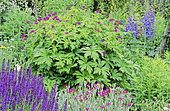 Perennial Flowerbed with Woodland sage (Salvia nemorosa), Cranesbill (Geranium psilostemon), Delphinium (Delphinium sp), Spring-Summer