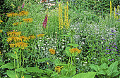 Perennial Flowerbed with Yellow Oxeye (Telekia speciosa), Chaix Mullein (Verbascum chaixii), Rose campion (Lychnis coronaria) 'Alba', Fowglove (Digitalis sp), Summer