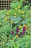 Perennial Flowerbed with Primrose (Primula sp), Funkia (Hosta sp), Orchid (Dactylorhiza sp), Spring-Summer