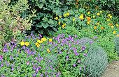Perennial Flowerbed with Pansy, Violet (Viola sp), California Poppy (Eschscholzia californica), Spring-Summer