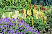 Perennial Flowerbed with Perennial Geranium (Geranium sp) 'Johnson's Blue', Lupine (Lupinus sp), Tritoma (Kniphofia sp), Waterperry Gardens, Oxfordshire, England, Summer