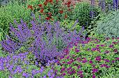Perennial Flowerbed with Perennial Geranium (Geranium psilostemon) 'Johnson's blue', Oriental Poppy (Eastern Papaver), Catnip, (Nepeta sp), Spring-Summer