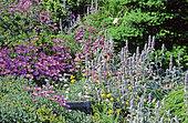 Perennial Flowerbed with Daisy (Erigeron sp), Bear Ear, Woolly hedgenettle (Stachys byzantina), Spring-Summer