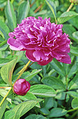 Peony 'Amabilis' in bloom in a garden