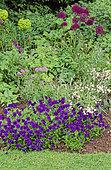 Perennial Flowerbed with Pansy (Viola sp), Ornamental Garlic (Allium sp), Spurge (Euphorbia sp), Spring-Summer