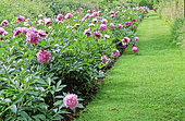 Turf driveway and border of herbaceous Peony (Paeonia sp) in spring