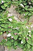 Kolomikta Vine (Actinidia kolomikta),