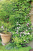 Association of plants, Wall covered with climbing plants, Kolomikta Vine (Actinidia kolomikta), Clematis (Clematis sp) and Japanese Maple (Acer palmatum) in pot, Lande Garden, Chevrier, Cher, Berry, France