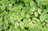 Winter-hazel (Corylopsis spicata) foliage