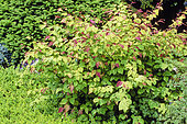 Buttercup witch hazel (Corylopsis pauciflora)