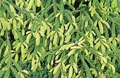 Norway spruce (Picea abies) 'argenteospica'