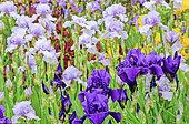 Iris Garden Massif (Iris germanica) mixed: Iris 'Mary Frances' and Iris 'Matinata'